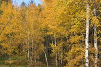 Cariboo Autumn