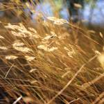 """""""Grass in the Wind"""" by ChrisHudson"""