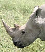 Rhino Up Close