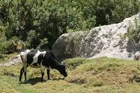 Hershey Cow by a Rock Face