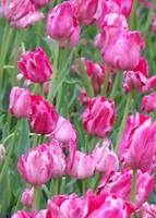 Pink Passion Tulips