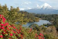 New Zealand - Volcano and Roses