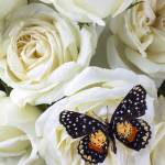 """Speckled butterfly on white rose"" by photogarry"