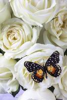 Speckled butterfly on white rose