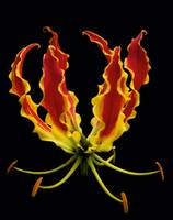 Gloriosa Lily Black Background