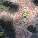 """Lichen Art"" by sondrasula"