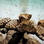 """Cheetas in the Serengeti"" by amynnasser"