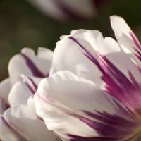 Purple and White Tulips Art Prints & Posters by Marcia Crayton