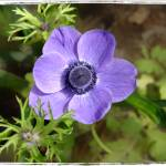 """Purple Anemone"" by GiorgettaMcRee"
