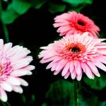 """Gerbera Daisy No. 3"" by MBush1us"