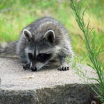 """Baby Raccoon"" by dansmith"