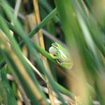 """Green Tree Frog"" by dansmith"
