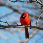 """Northern Cardinal"" by dansmith"