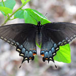 """Black Eastern Tiger Swallowtail"" by dansmith"