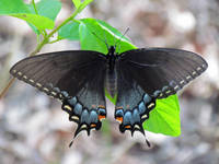 Black Eastern Tiger Swallowtail