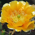 """""""Cactus Flower"""" by dansmith"""