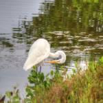 """American Egret (IMG_3210)"" by jvandyke"