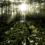 """""""Sunrays in the forest"""" by zoomphoto"""