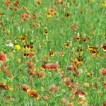 """""""Wildflowers"""" by dansmith"""