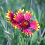 """Indian Blanket"" by dansmith"
