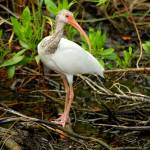 """White Ibis (IMG_3229)"" by jvandyke"