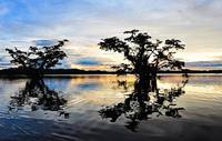 Trees Reflecting in a Still, Amazon Jungle Lake