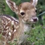 """fallow deer fawn"" by Antimaging"