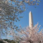 """Washington Monument and Cherry Blossoms"" by phillipc81"