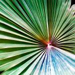"""California Fan Palm No. 1"" by MBush1us"