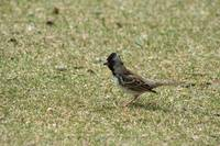 Harris Sparrow on Grass