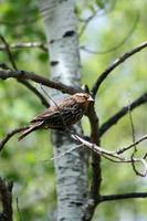 Female Red Winged Blackbird in a Tree