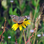 """Common Buckeye"" by dansmith"