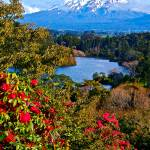 """Mount Tarinaki and Roses, New Zealand"" by phillipc81"