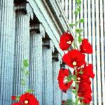 """""""Hollyhock at Lion House and Church Buildings"""" by Triflour"""