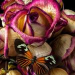 """Dried rose and butterfly"" by photogarry"