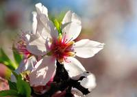Almond Flower: The Portuguese Sakura