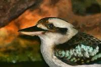 Kookaburra - close up