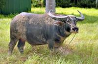 Healthy Water Buffalo