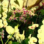"""White Orchids, Flowers 12 by Chip Fatula"" by njchip123"