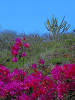 Bougainvillea and Cactus