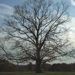 """Fickling Tree"" by samdgadii"