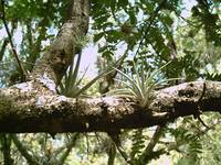 Bromeliads on a Branch