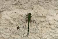 Green and Black Striped Dragonfly