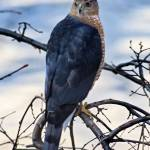 """Portrait of a Cooper`s Hawk"" by ROBERTSCOTTPHOTOGRAPHYY"