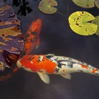 Two Mission Koi Art Prints & Posters by Larry Costales
