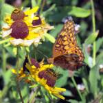 """""""Variegated Fritillary"""" by dansmith"""