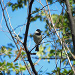 """Carolina Chickadee"" by dansmith"