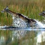 """Red Lechwe in water"" by MichaelPoliza"