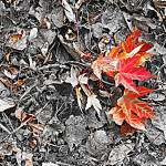 """orange-red leaves"" by johngiroux"