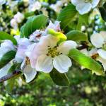 """""""Apple Blossoms"""" by r0ckstarbby"""
